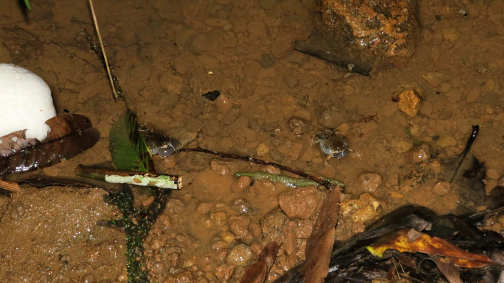 Tungara frogs + nest